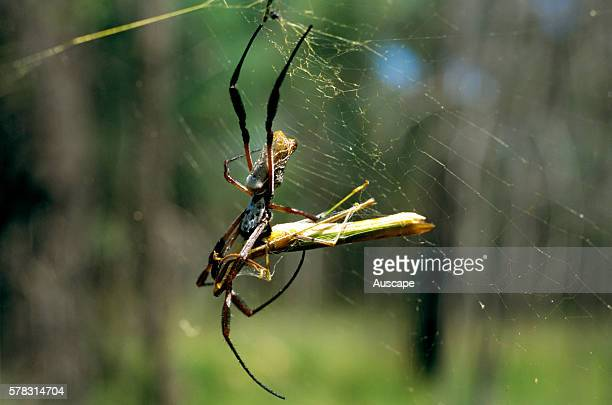 Golden orbweaver spider Nephila sp on web Queensland Australia