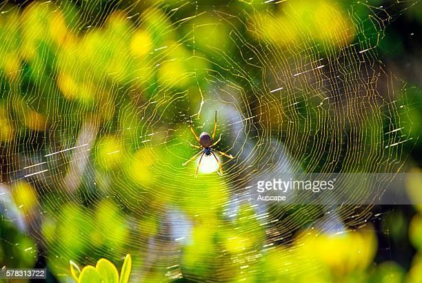 Golden orbweaver spider Nephila sp sunlit web against River mangroveAegiceras corniculatum in tidal shrubland the strong golden strands are spun into...