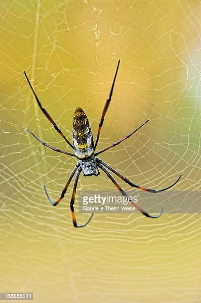 Golden orb-web spider, Nephila madagascariensis