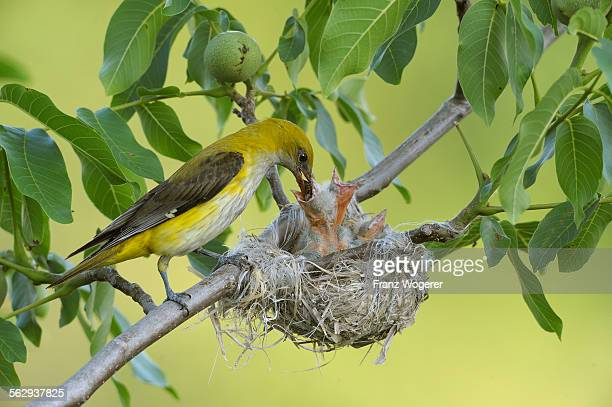 Golden Orioles -Oriolus oriolus-, adult female feeding chicks in the nest, in a walnut tree, Bulgaria