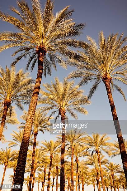 Golden Palm Trees