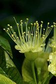 species yellow of golden penda in nature
