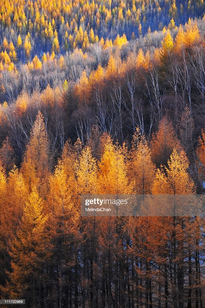 Golden pine trees : Stock Photo