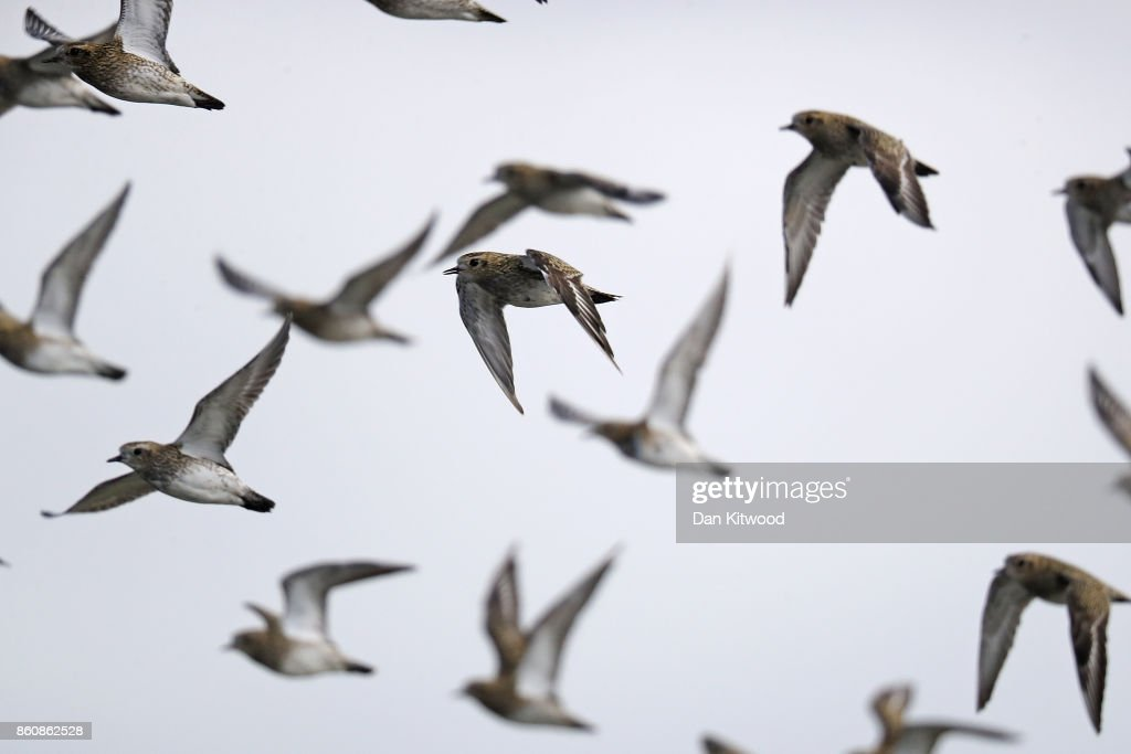Golden Plover take off as a Peregrine Falcon passes overhead at the Kent Wildlife Trust's Oare Marshes in the Thames Estuary on October 13, 2017 in Faversham, England.