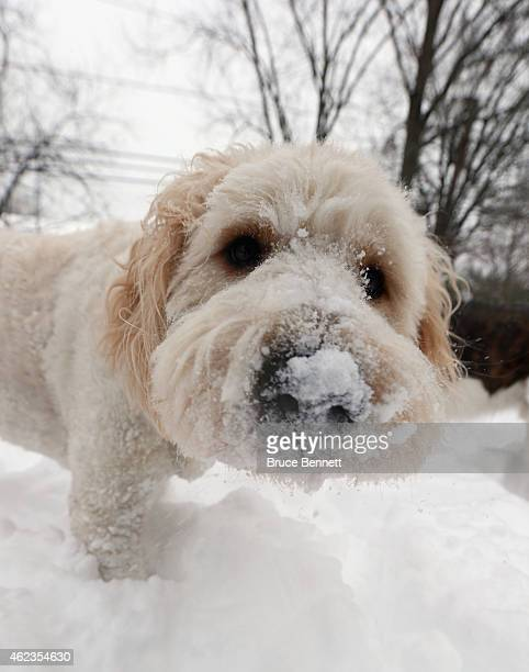 A golden poodle stands with snow in its nose on January 27 2015 in Old Bethpage New York The Long Island region received between twelve and thirty...