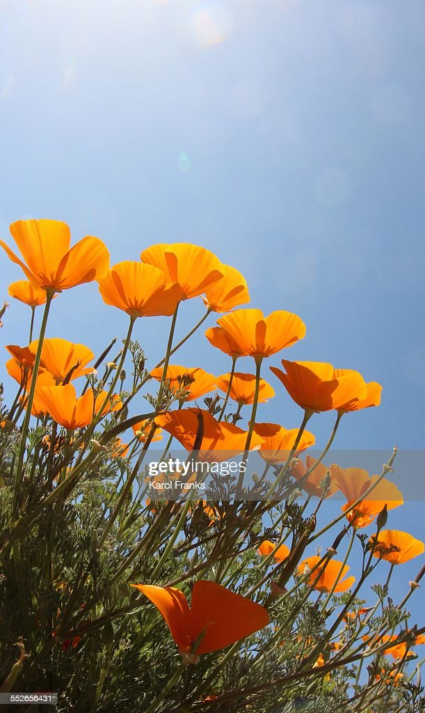 Golden poppies reaching for the sun