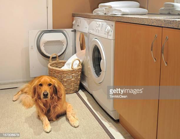Golden retrever in Laundry room