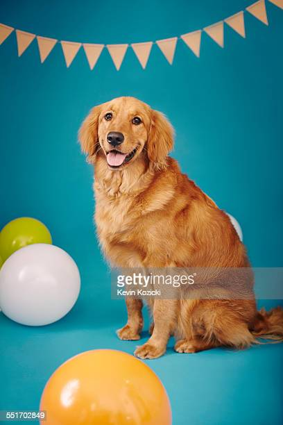 Golden retriever against blue background, bunting and balloons around him