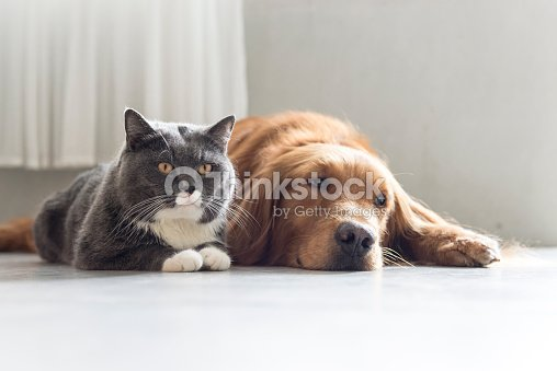 Golden Retriever And British Shorthair Stock Photo | Thinkstock