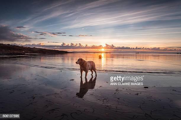 Golden retriever at the beach at dawn