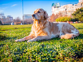 Proud golden retriever laying on the meadow. The scene is set in winter sunny day in a public city park in Bucharest, Romania (Eastern Europe). The picture is taken with Panasonic GH5 camera.
