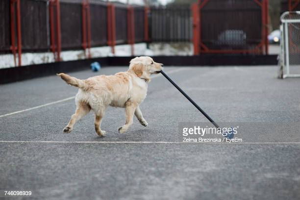 Golden Retriever Carrying Floorball Bat In Mouth On Footpath