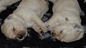 coppia di cuccioli di golden retriever
