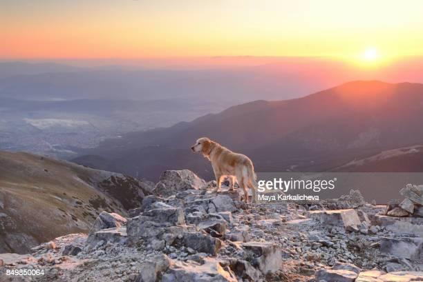 Golden retriever dog at sunrise on a mountain top