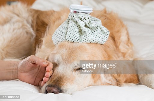 Golden Retriever dog cold : Stock Photo
