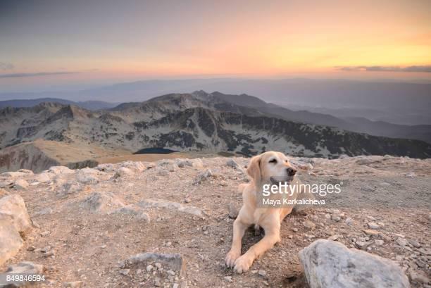 Golden retriever dog enjoying a sunset hike in a mountain
