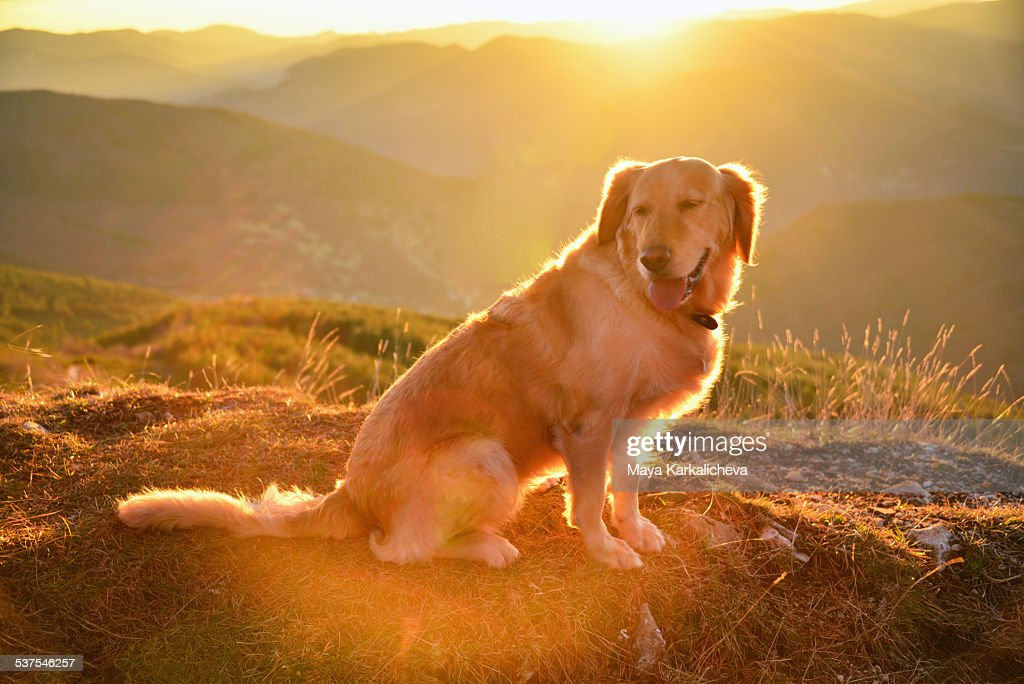 Golden retriever dog enjoying sunrise in mountains