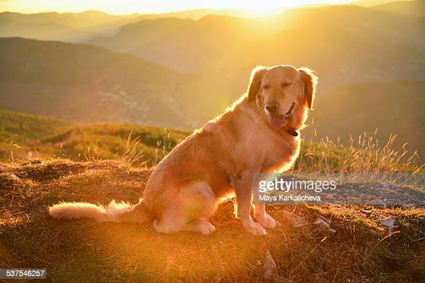 Golden retriever dog enjoying sunrise in mountains
