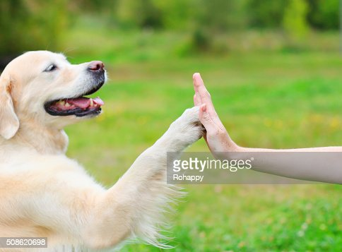 Golden Retriever dog giving paw owner, closeup photo : Stock Photo