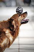 Golden Retriever Dog Heading the Ball - XLarge