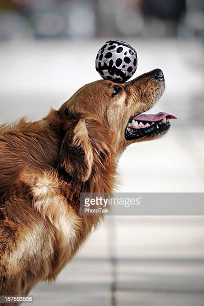 Golden Retriever Dog Heading the Ball - XLarge