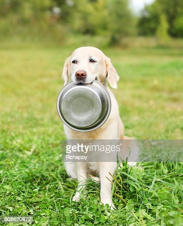 Golden Retriever dog holding in teeth a bowl on grass : Stock Photo