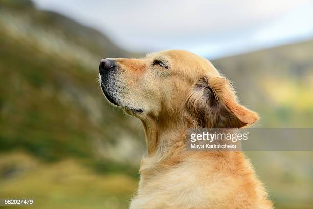 Golden retriever dog in a mountain