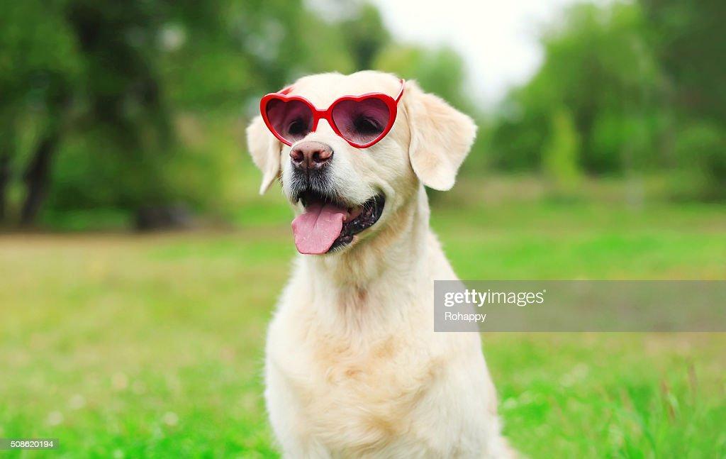 Golden Retriever dog in sunglasses on grass : Stock Photo