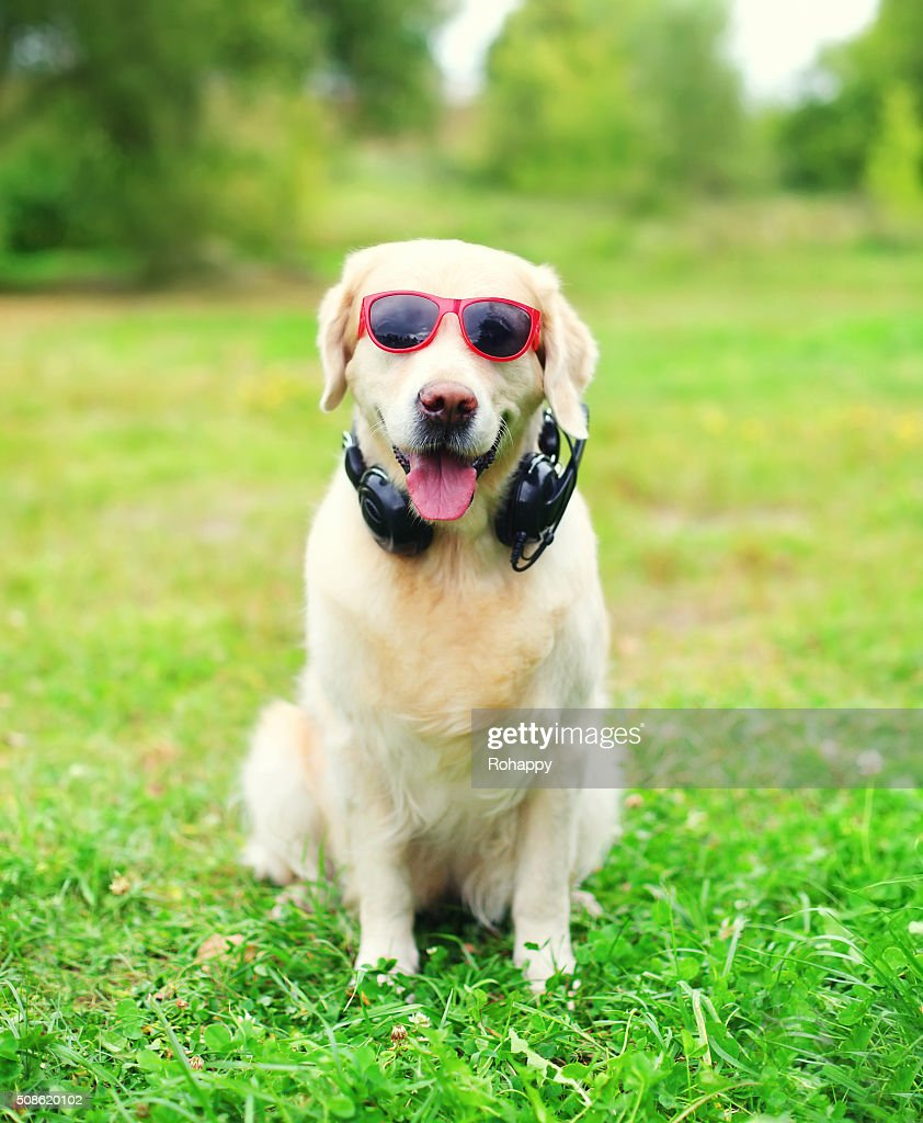 Golden Retriever dog in sunglasses with headphones listens to music : Stock Photo