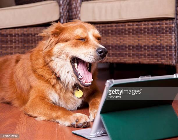 Golden Retriever dog laughing digital tablet. Mobile device, online, technology.