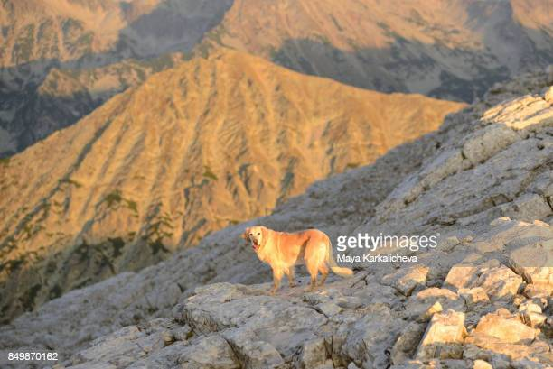 Golden retriever dog on a mountain summit looking at camera at sunset