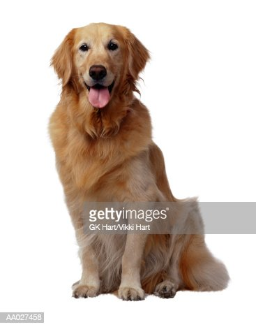 Golden Retriever Dog : Stock Photo