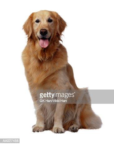 Golden Retriever Dog : Foto de stock
