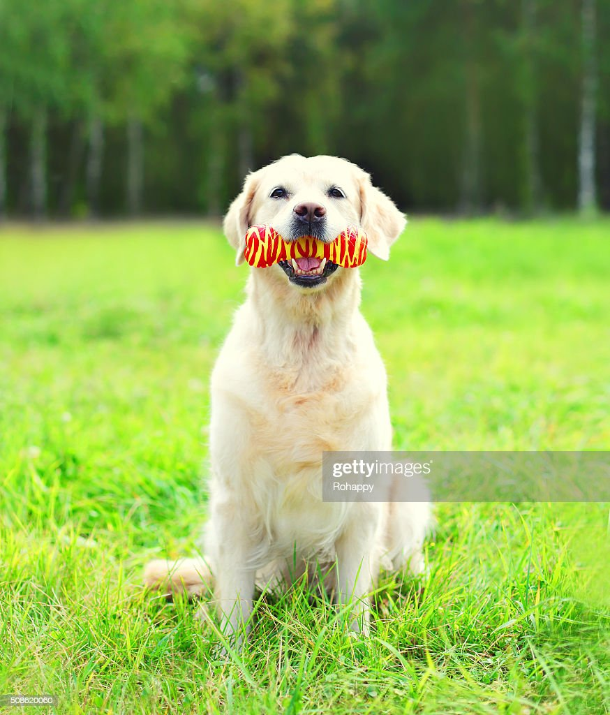 Golden Retriever dog playing with rubber bone toy on grass : Stock Photo