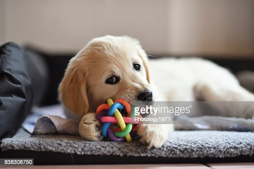Golden retriever dog puppy playing with toy : Stock Photo