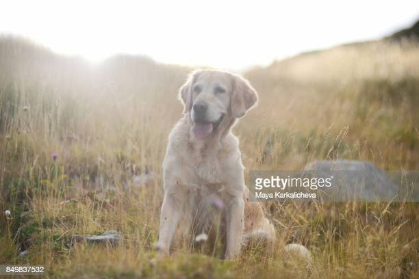 Golden retriever dog resting on a yellow grassy meadow