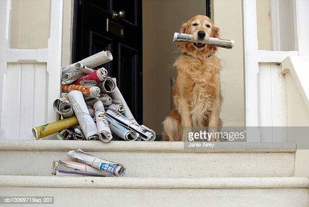 Golden retriever chien assis à la porte en tenant un journal