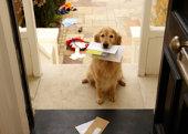 Golden retriever perro sentado en la puerta frontal con cartas