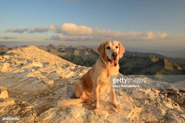 Golden retriever dog sitting on top of a mountain looking at camera
