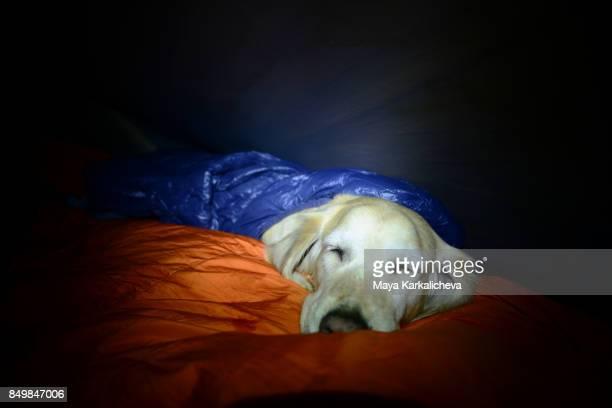 Golden retriever dog sleeping in a tent in sleeping bag