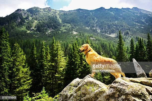 Golden retriever dog standing on rock with view