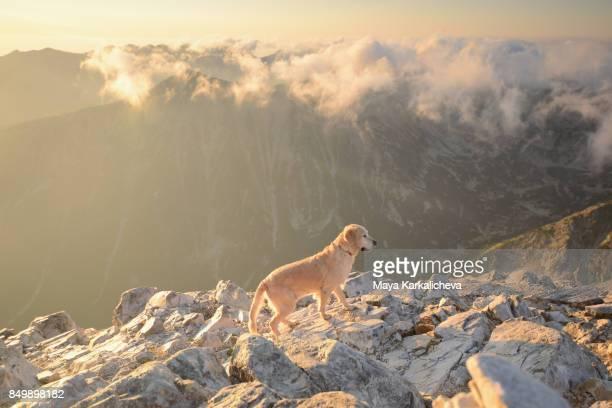 Golden retriever dog walking on a rocky terrain in a mountain