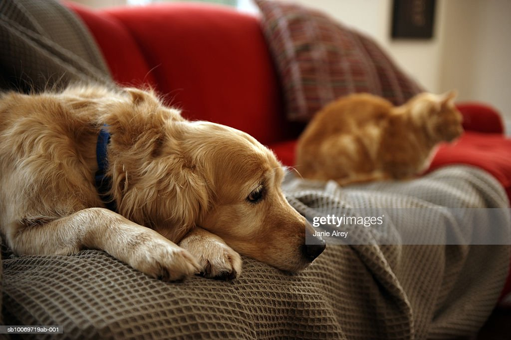 Golden retriever dog with ginger tabby cat resting on sofa (focus on foreground)