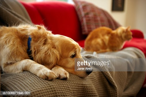 Golden retriever dog with ginger tabby cat resting on sofa (focus on foreground) : Bildbanksbilder
