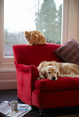 Golden retriever dog with ginger tabby cat resting on sofa