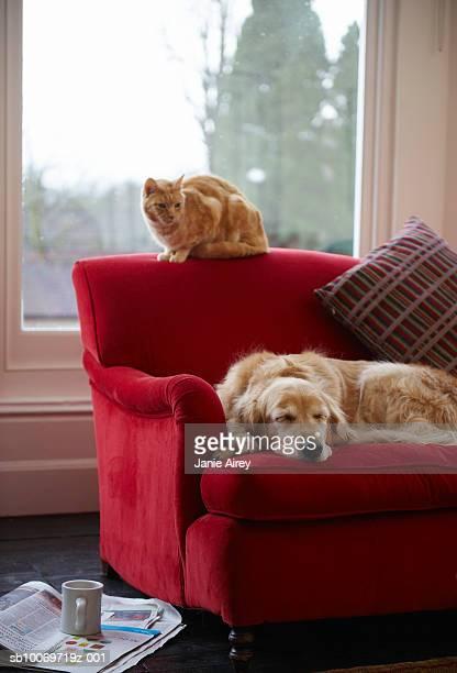 Golden retriever Hund und Ingwer Katze auf sofa Ausruhen Getigerte Katze
