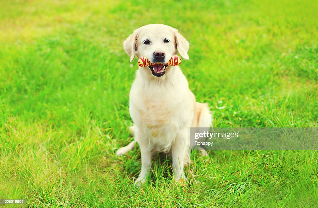 Golden Retriever dog with rubber bone toy on grass : Stock Photo