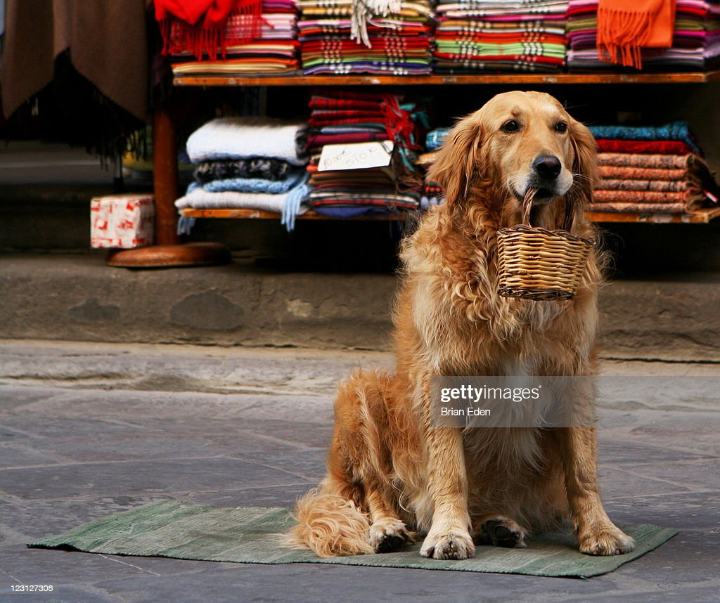Golden retriever holding basket in his mouth : Stock Photo