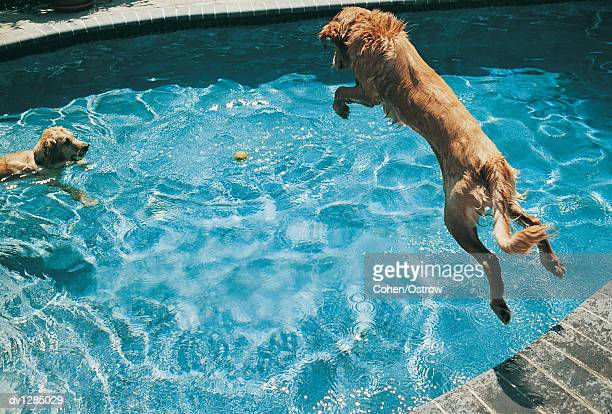 Golden Retriever in a Swimming Pool Fetching a Ball and Another Jumping in