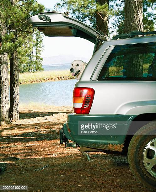 Golden retriever in car, looking out of open boot